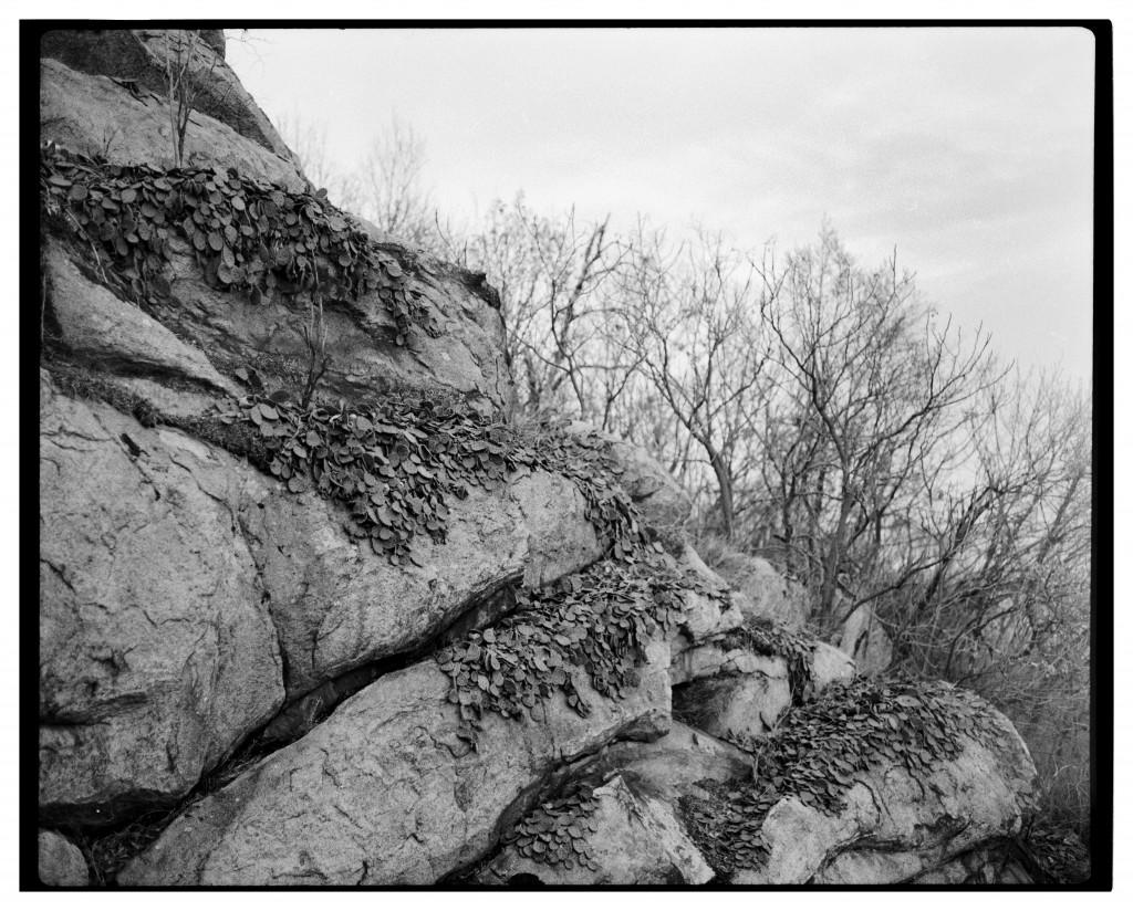 Популации от кактуси (Опунция Compressa), хълм Бунарджик - Пловдив. Снимка: Константин Бобоцов.